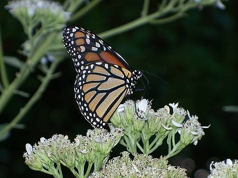 Monarch on Frostweed by Celene Terry