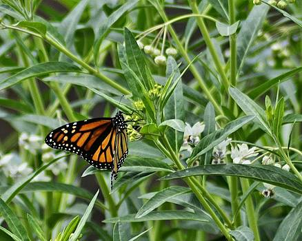 Cindy Nunn - Monarch on Milkweed