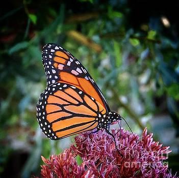 Monarch by Rrrose Pix