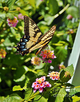 Monarch Summer by Jeff McJunkin