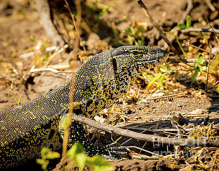 Monitor Lizard by Tim Hester