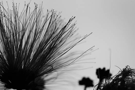 Monochrome Mimosa by Gretchen Friedrich
