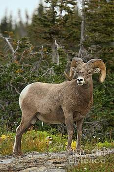 Adam Jewell - Montana Bighorn Portrait