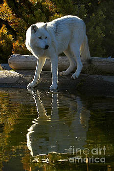Adam Jewell - Montana Grey Wolf Reflections