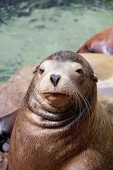Art Block Collections - Monterey Sea Lion