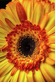 Moody Yellow Orange Gerbera by Garry Gay
