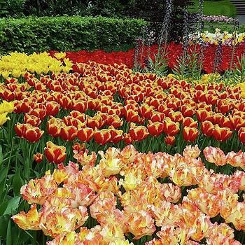 More #tulip Goodness From #keukenhof by Dante Harker