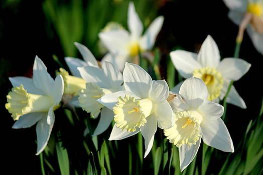 Rosanne Jordan - Morning Daffodil Light