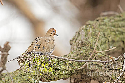 Mourning Dove Morning in Minnesota by Natural Focal Point Photography
