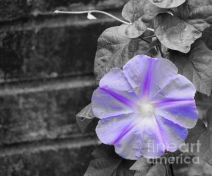 Morning Glory Flower by Chad and Stacey Hall