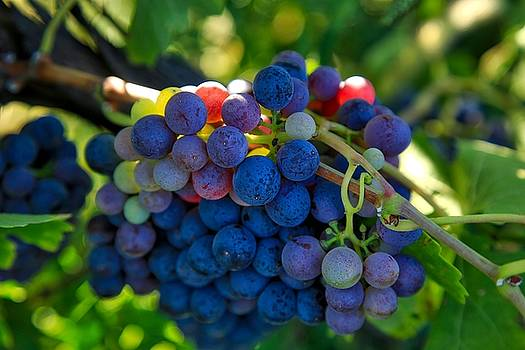 Morning light on the wine grapes by Lynn Hopwood