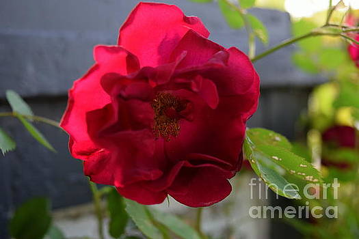 Morning Rose by Justin Moore
