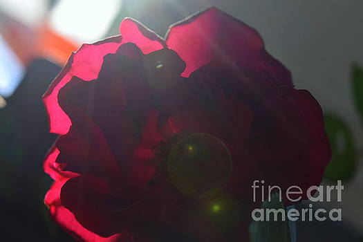 Morning Rose Sun Flare by Justin Moore