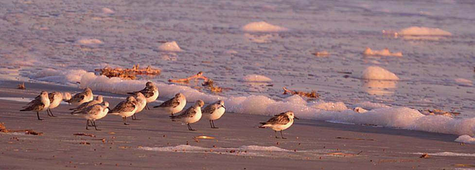 Morning Sandpipers  by Julianne Felton