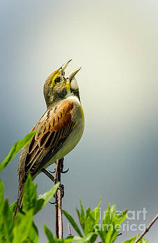 Morning Song - Dickcissel by Robert Frederick