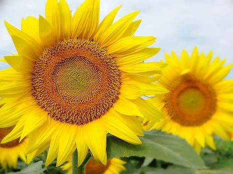 Morning Sunflowers in Kansas by Rebecca Overton