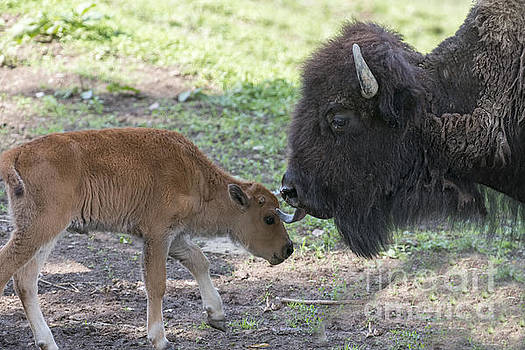 Dan Friend - Mother buffalo with her baby