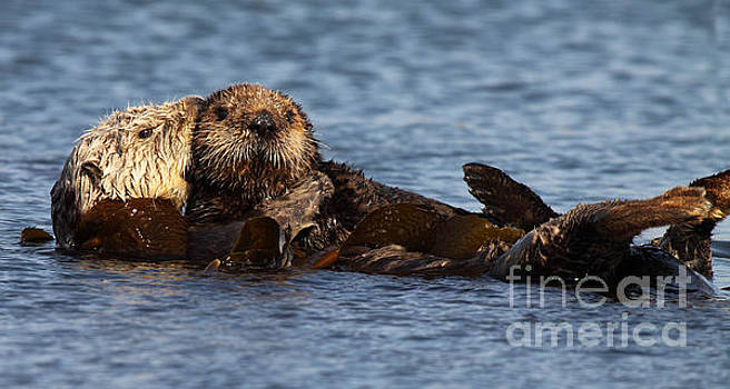 Mother Sea Otter Cuddling Baby by Max Allen