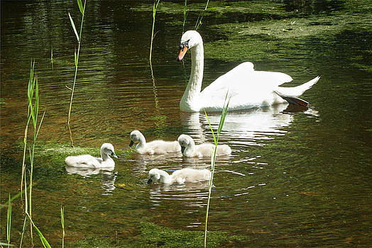 Mother swan watching her cygnets play by Steppeland -