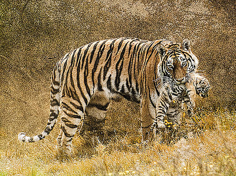 Mother Tiger and cub by Brian Tarr