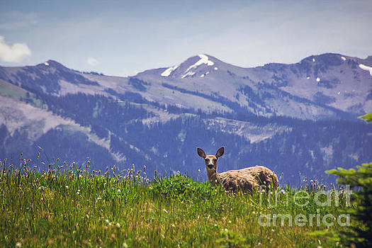 Mountain Deer by Joan McCool