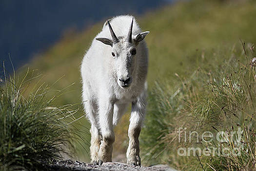 Mountain Goat Closeup Looking Directly at the Camera by Brandon Alms