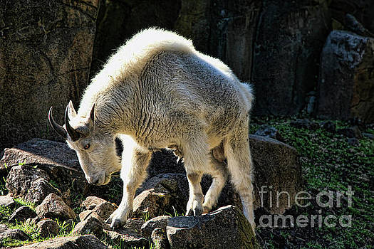 Chuck Kuhn - Mountain Goat Color