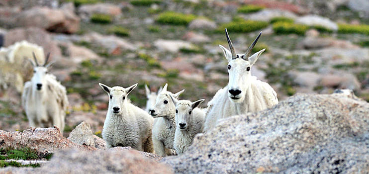 Mountain Goat Family Panorama by Scott Mahon