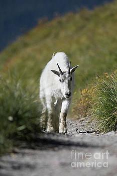 Mountain Goat on Mountain Trail by Brandon Alms