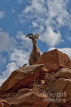 Rod Wiens - Mountain Goat