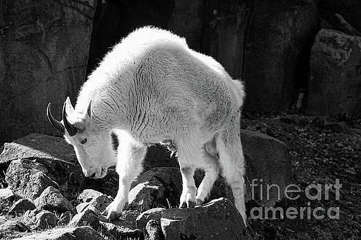 Chuck Kuhn - Mountain Goat White