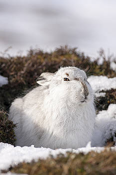 Mountain Hare by John Fotheringham