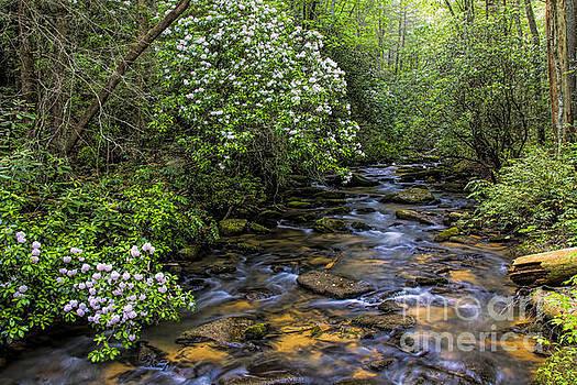 Barbara Bowen - Mountain Laurels light up Panther Creek
