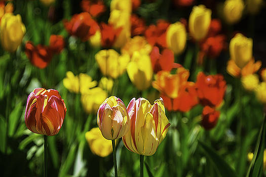 Mountain Tulips by Garry Gay