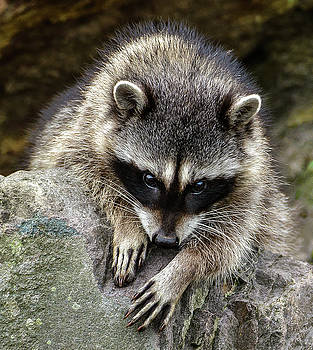Mournful Raccoon by Jerry Cahill