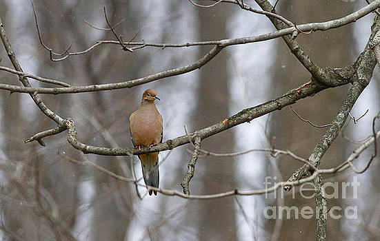 Mourning Dove in Winter by Debbie Parker