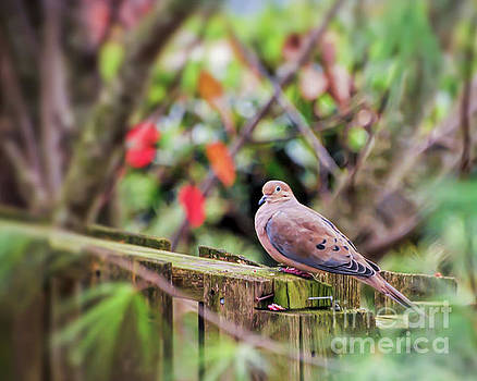 Mourning Dove by Kerri Farley