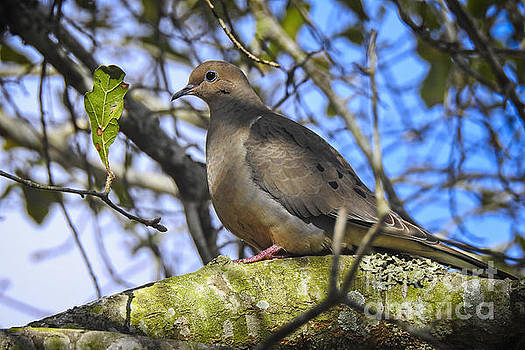 Mourning Dove on a January morning by Ella Kaye Dickey