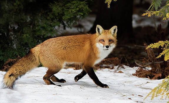 Mr Fox by Mircea Costina Photography