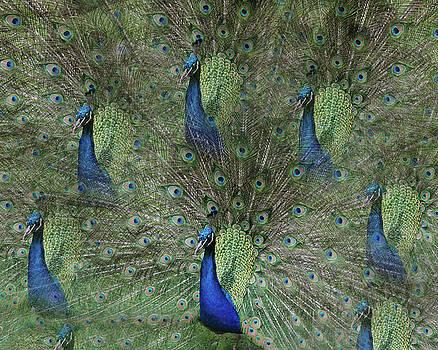 Mr Peacock by Cheryl Cencich