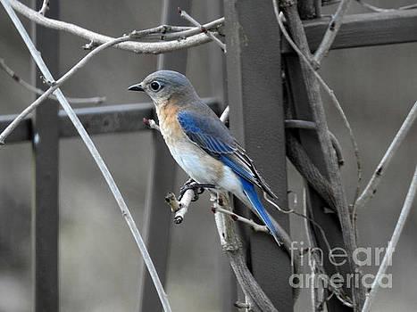 Mrs. Bluebird by Brenda Bostic