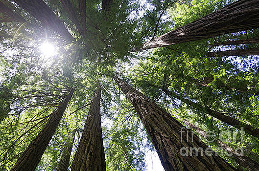 Muir Woods No.1 by Scott Evers