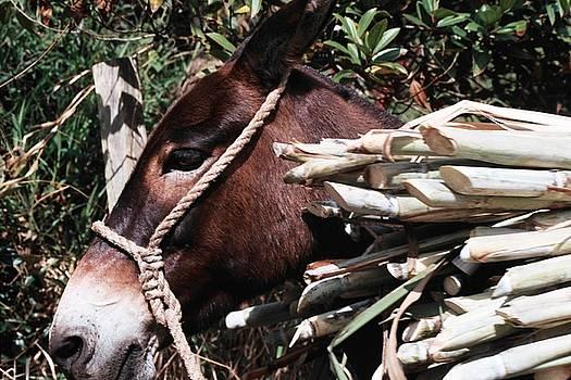 Mule by David Cardona