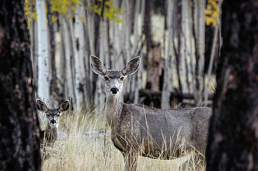 Mule Deer in the Fall Forest  by Saija Lehtonen