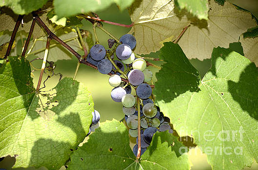 Muscadine Grapes by Charles Bacon Jr