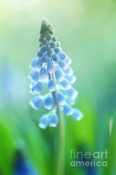 Muscari Dreams by LHJB Photography