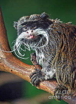 Mustached Monkey Emperor Tamarin Sticking His Tongue Out At Me  by Jim Fitzpatrick