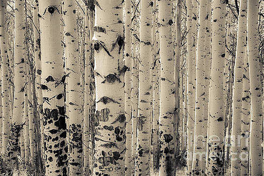 Muted Aspens by The Forests Edge Photography - Diane Sandoval