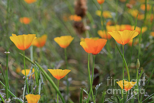 My California Poppies by Tracy Hall