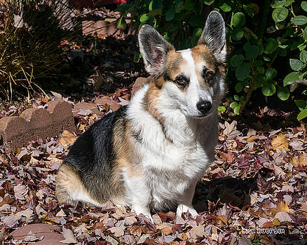 Mick Anderson - My Cute Corgi in Autumn